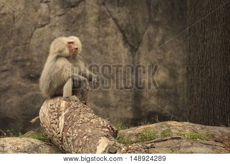 a baboon sitting looking off into the distance