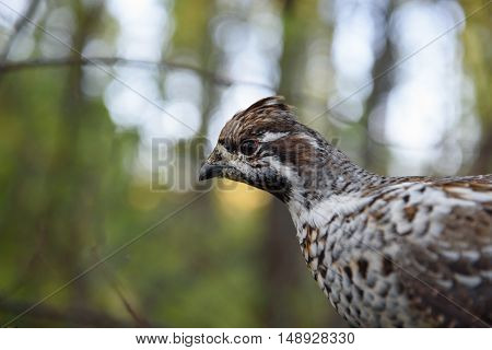 Hazel grouse closeup, sitting on a branch in the autumn forest