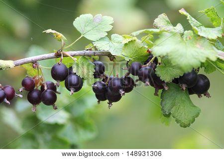 Jostaberry (blackcurrant) bush branch for backgrounds in german garden