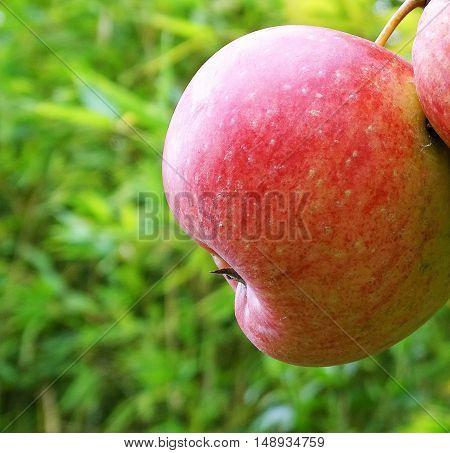 Mela_ Saporite fruit_ Red_  Very good taste_