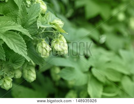 Close Up Of Green Ripe Hop Cones. Beer Production Ingredient. Ingredients For The Preparation Of Org