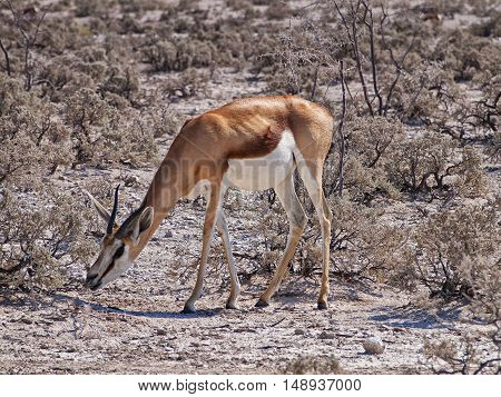 Springbok in the Etosha National Park, Namibia