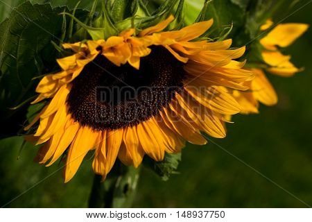 Portrait of a sunflower. Macro photography of nature.