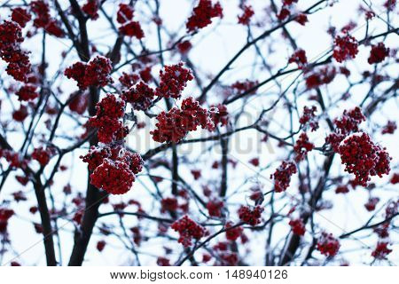 nature, tree, mountain ash, snow, winter, berries, branches
