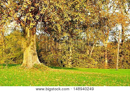 Big autumn poplar in the park - bright autumn landscape of park in sunny weather. Landscape autumn view of yellow autumn tree. Autumn landscape of sunny autumn park. Picturesque autumn landscape