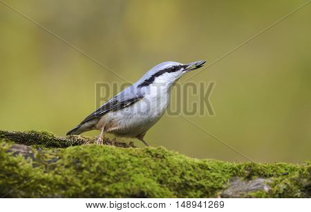 bird grey nuthatch hiding seeds in the tree covered with moss