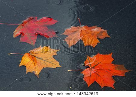 brightly colored maple leaves floating in a puddle during autumn rain