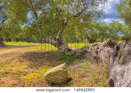 The centuries old olive tree, secular olive tree.
