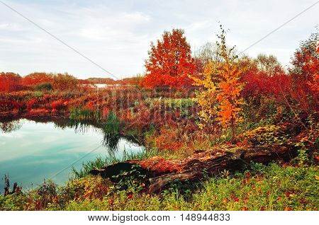 Autumn landscape in vibrant colors- autumn in the forest with small river overgrown with reeds. Autumn cloudy landscape of autumn bright nature with yellowed autumn trees along the forest autumn river