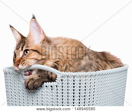 Portrait of domestic black tabby Maine Coon kitten - 5 months old. Cute young cat in grey basket isolated on white background. Close-up studio photo of striped playful kitty.
