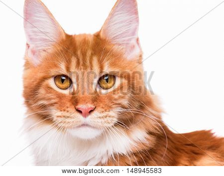 Portrait of domestic red Maine Coon kitten - 8 months old. Cute young cat isolated on white background. Close-up studio photo of orange striped cat looking at camera.
