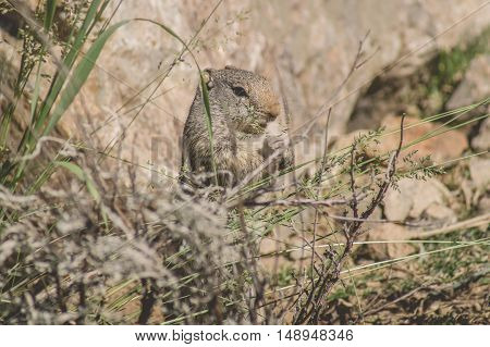 Uinta Ground Squirrel Eating Grass