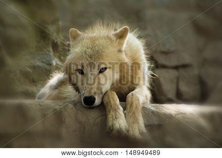 Wild white wolf on rock. Portrait of this beautiful predator