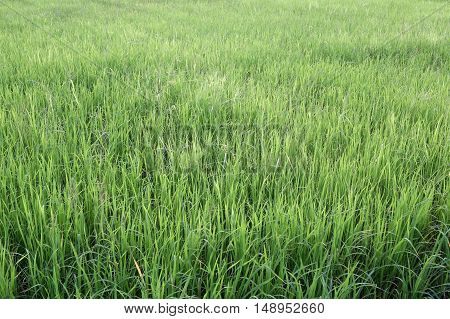 Bright green rice plant in farming area for design nature background.