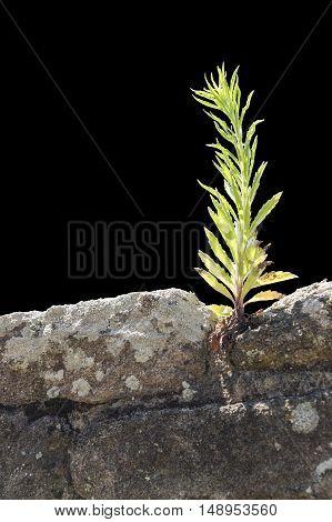 sunny illuminated plant on a stone wall in black back