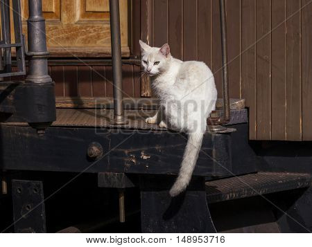 White cat domestic pet sitting animal looking feline
