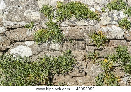 a sunny illuminated overgrown dry stone wall