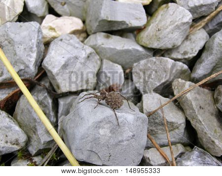 A female wolf spider with spiderlings on the stone