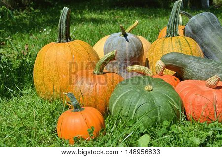 Colorful autumn pumpkins and squashes in garden