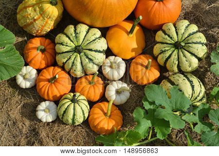 Autumn pumpkins and squashes on field. Fresh harvest