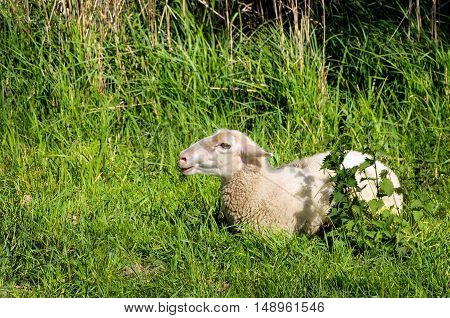 Young bleating sheep lies alone in the fresh green enjoying the spring sunshine.