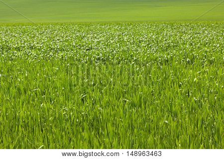 Fresh green cereal field in spring background