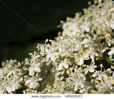 Macro Of Blooming Elderberry