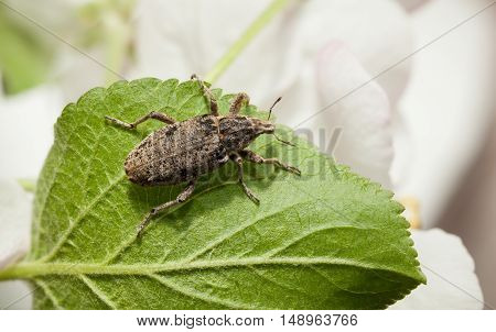 Weevil On Leaf In Orchard