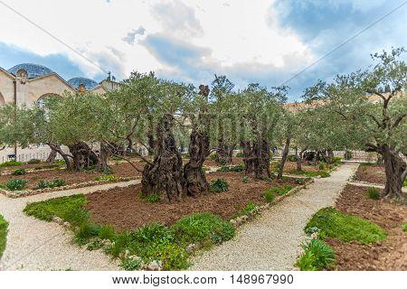 Gethsemane Garden At Mount Of Olives, Jerusalem, Israel