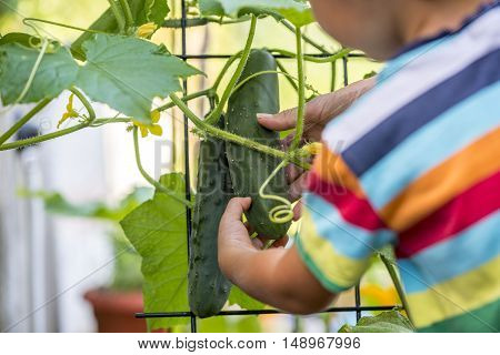 Young child in a brightly colored striped shirt looking at ripening cucumbers on a trellised vine view from behind over the shoulder.