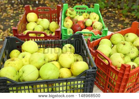 apples green harvest close up photo on the autumn garden background