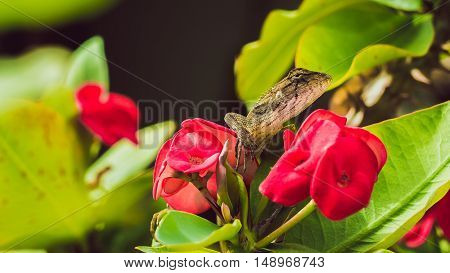 Oriental garden lizard on Red Euphorbia Beautiful Flower in Thailand