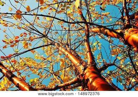 Autumn sunny landscape. Bird cherry tree - in Latin Prunus maackii also Padus maackii - against blue sky in autumn sunny day. Autumn tree with yellowed autumn leaves. Autumn landscape sunny nature