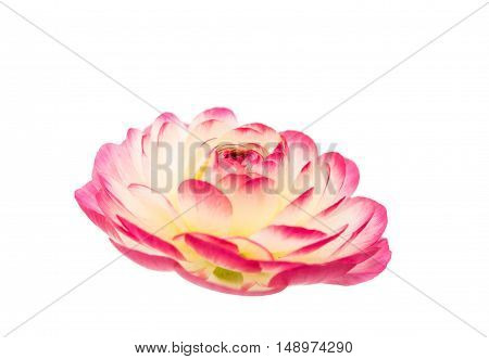 beautiful flower buttercup isolated on white background