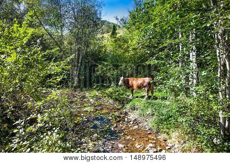 Cows on pasture in ecological environment, Zlarar mountain, Serbia.
