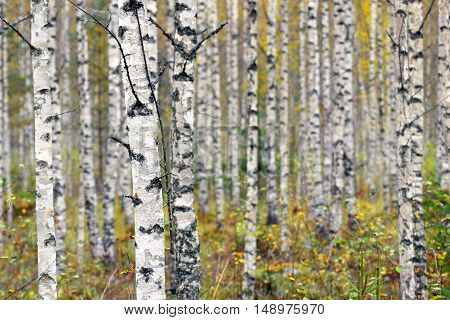 Birch trees on a colorful autumn forest.