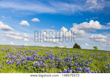 Texas Bluebonnet filed and clear blue sky