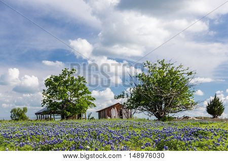 Bluebonnet Field In Countryside  Of Ennis, Texas