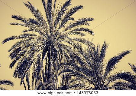 Graceful date palms as a nature background. Toned effect