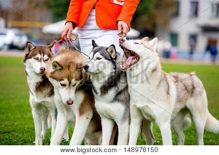 Four dogs close-up. Siberian Husky. The team of sled dogs.