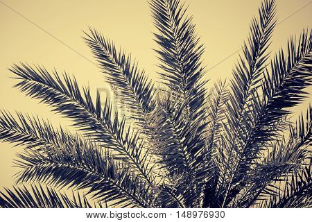 Fragment of a date palm as a nature background. Toned effect