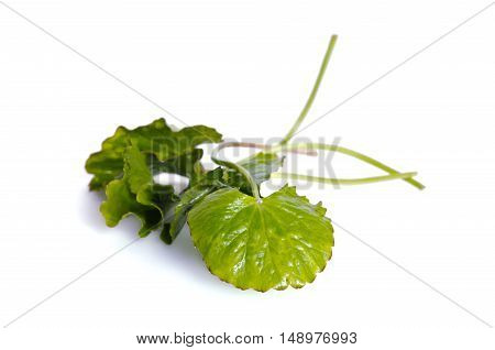 Centella Asiatica Or Thankuni In Indian, Buabok Leaf In Thailand Border On White