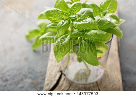 Fresh green basil just harvested in a measuring cup, cooking with herbs concept