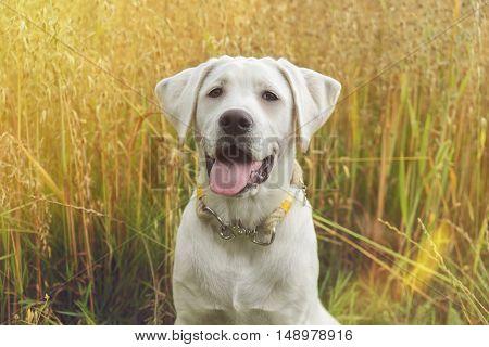 white labrador retriever dog puppy with pretty face