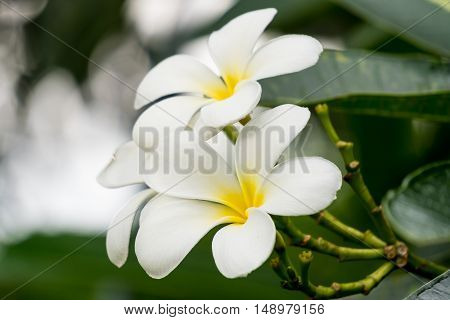 The plumeria flowers in the garden at thailand
