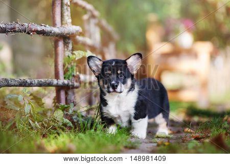 welsh corgi pembroke puppy standing outdoors in autumn