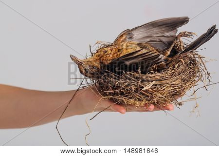 small brown color bird with fluffy feathers on wings laying in straw or wooden nest in female hands in studio
