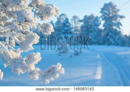 Winter bright landscape with coniferous branch frosted