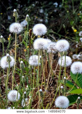 Dandelions. After a brilliant flowering dandelions acquire a completely different color, and kind ..