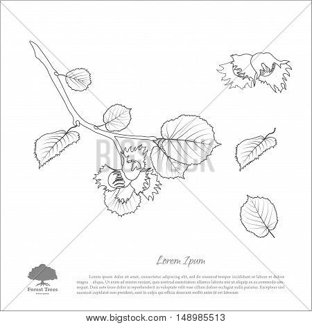 Contour drawing hazelnut branches . Nut and hazelnut leaf. Vector illustration